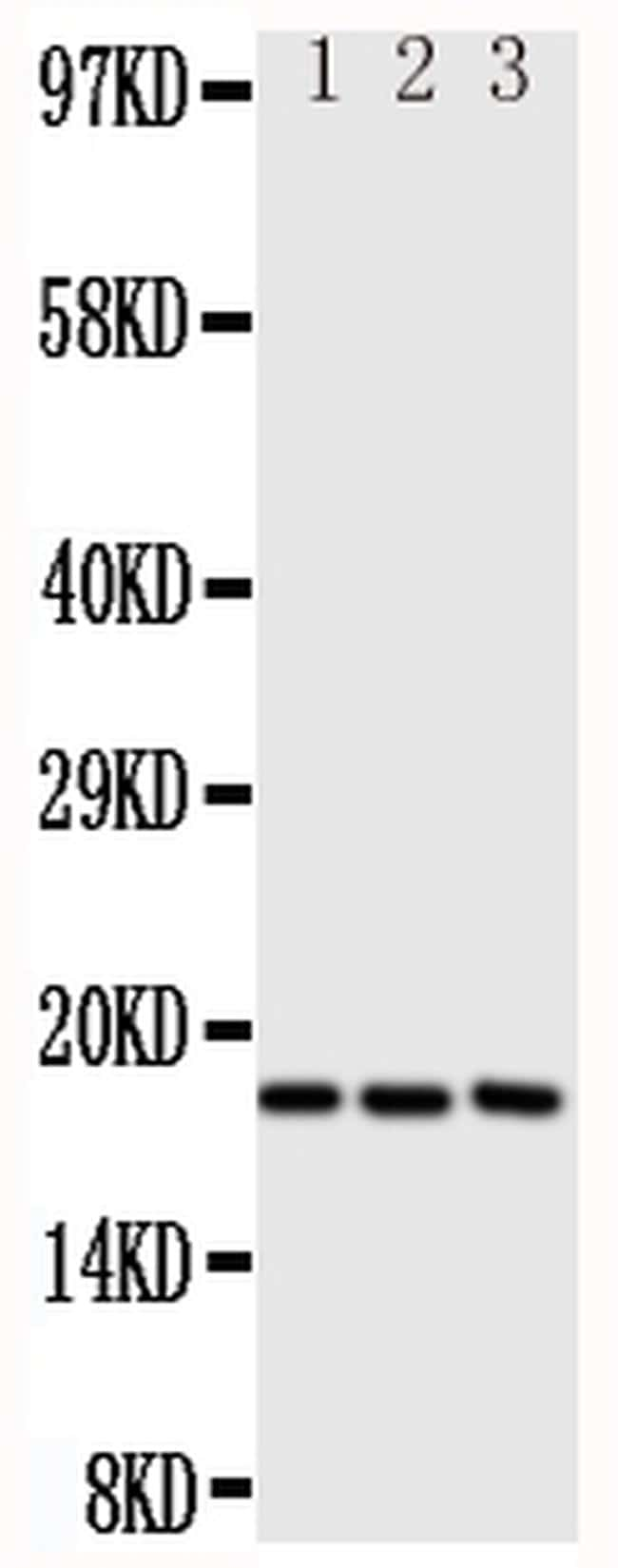 CCL1 Antibody in Western Blot (WB)