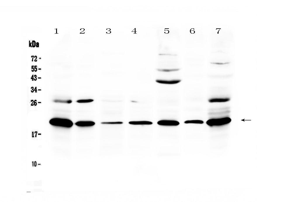 CCL19 Antibody in Western Blot (WB)