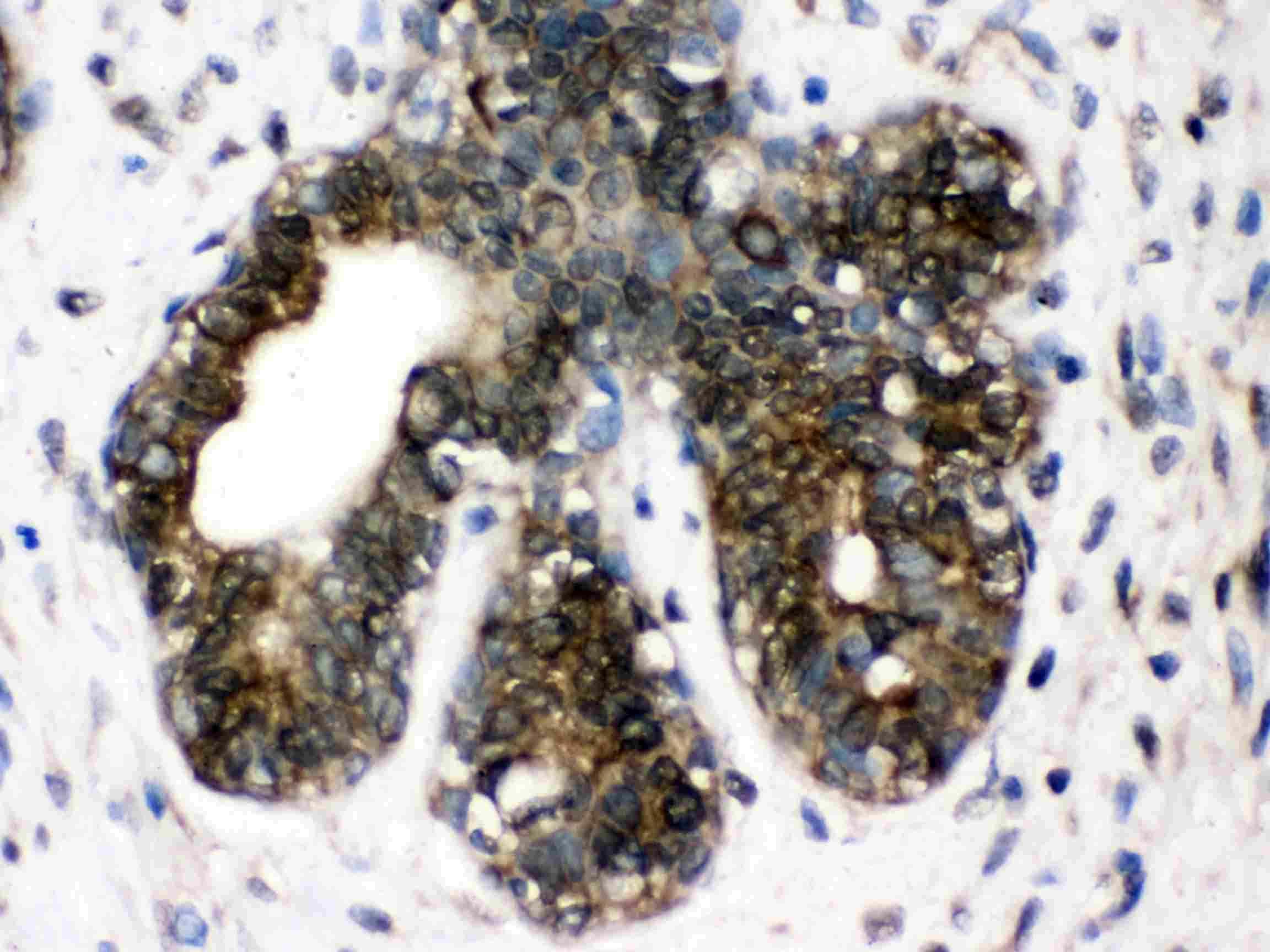 TCP-1 delta Antibody in Immunohistochemistry (Paraffin) (IHC (P))