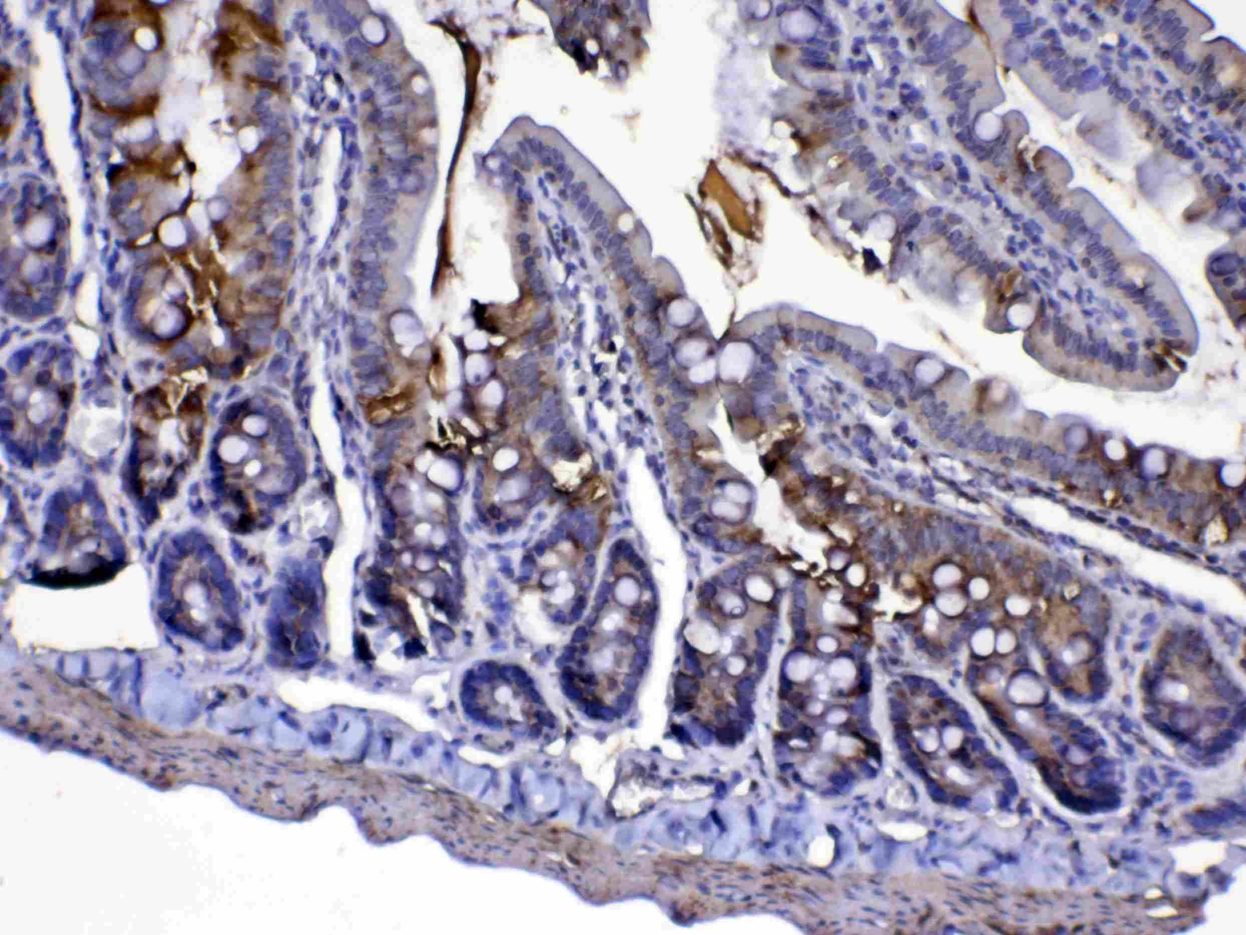 Cytochrome C Antibody in Immunohistochemistry (Paraffin) (IHC (P))