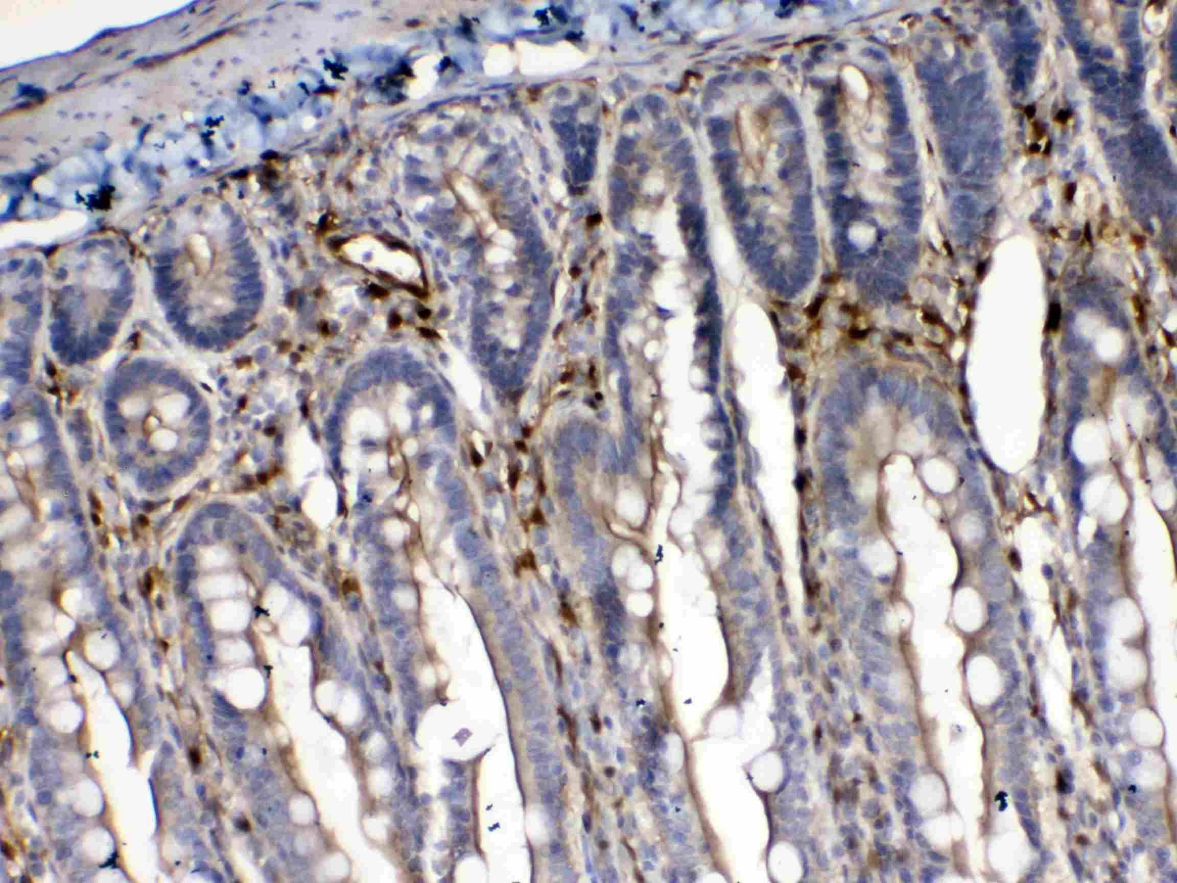 Cytoglobin Antibody in Immunohistochemistry (Paraffin) (IHC (P))
