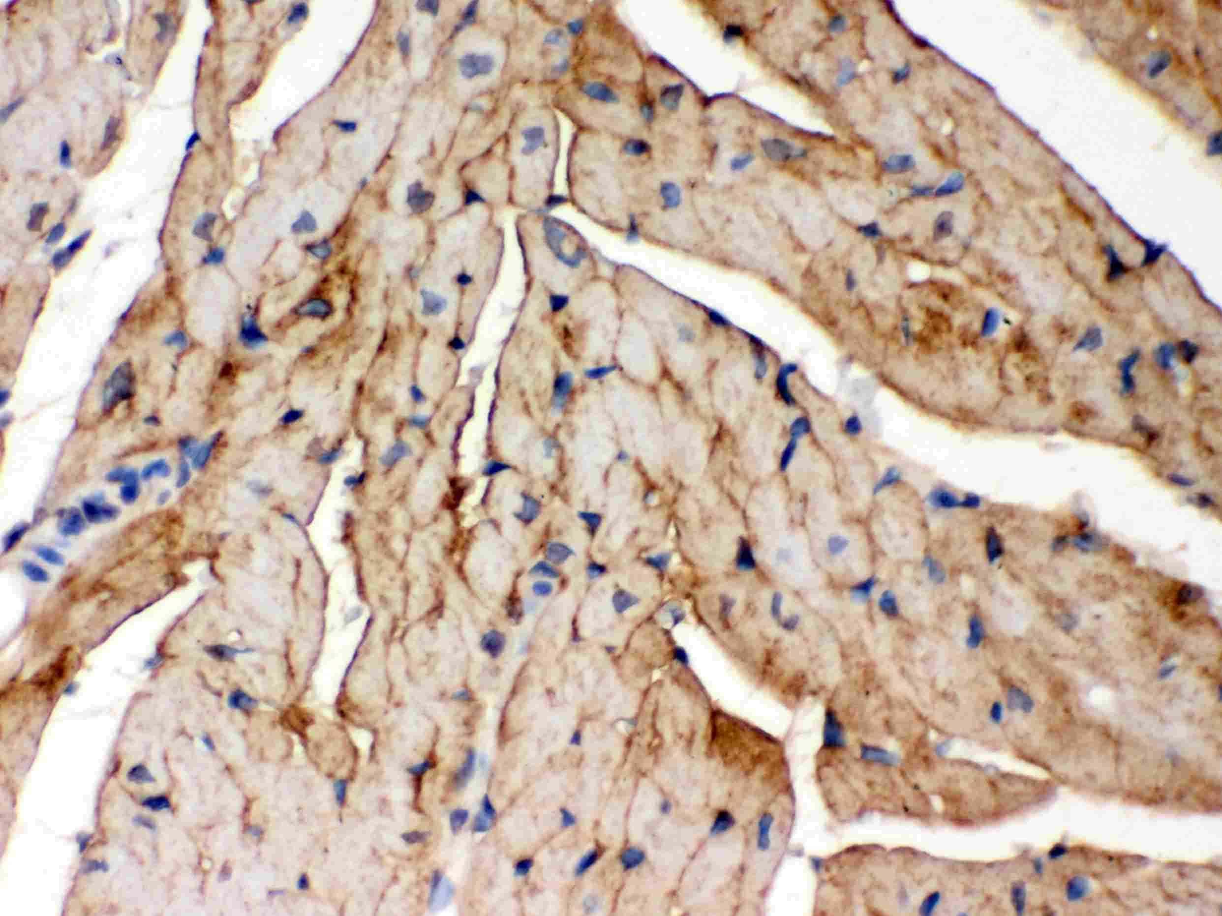 FXYD1 Antibody in Immunohistochemistry (Paraffin) (IHC (P))