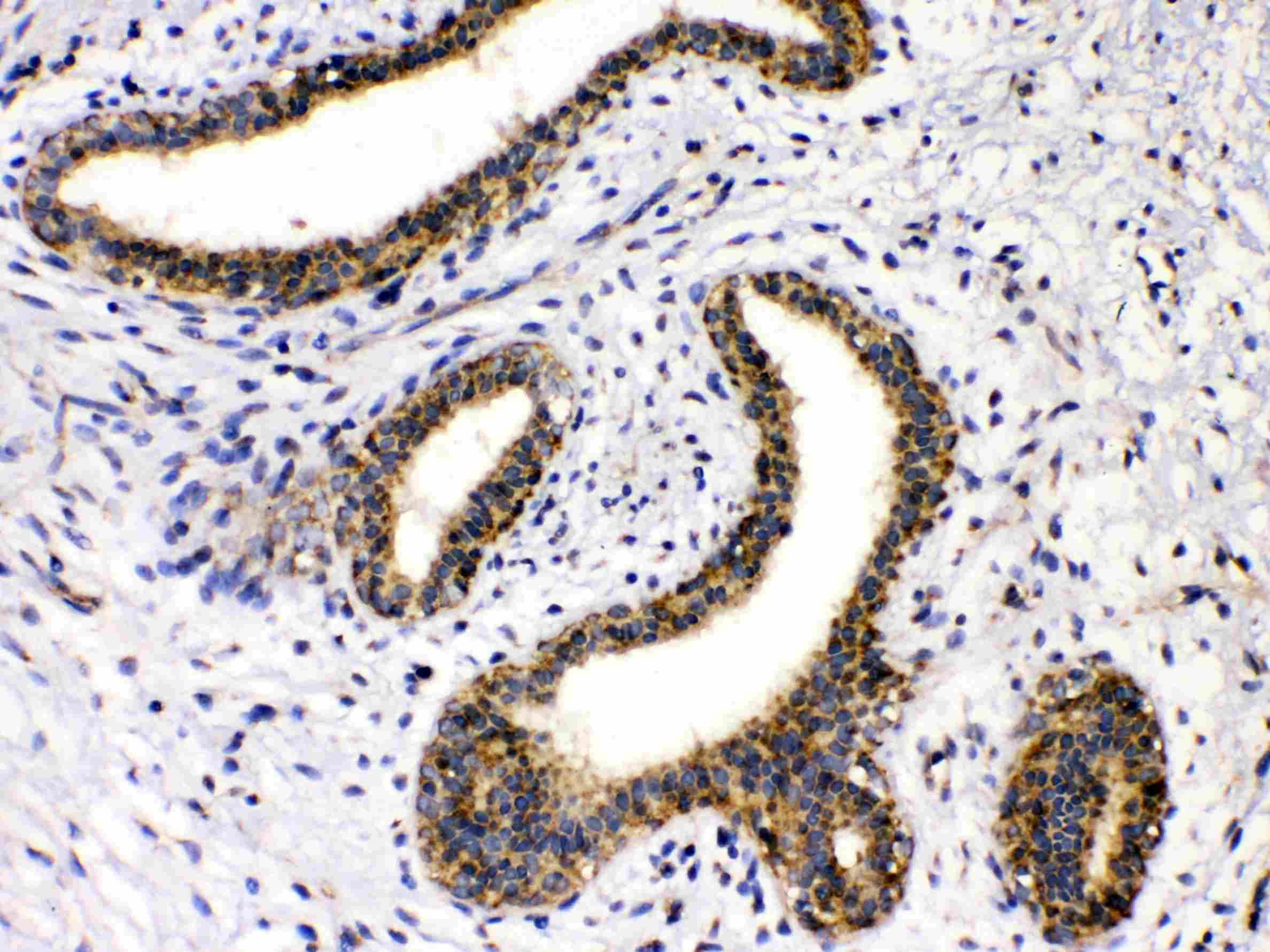 GAD65 Antibody in Immunohistochemistry (Paraffin) (IHC (P))