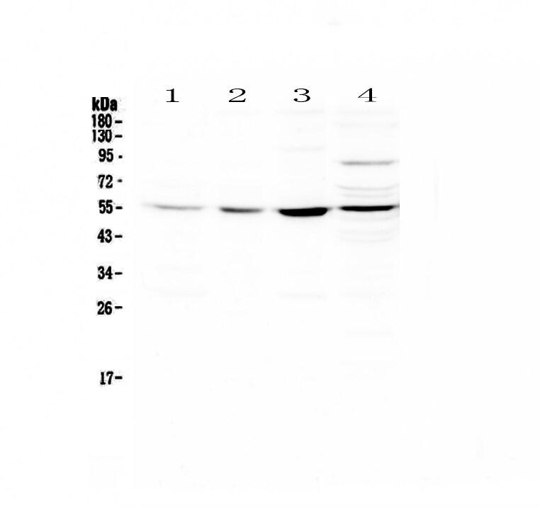 ICAM-2 Antibody in Western Blot (WB)
