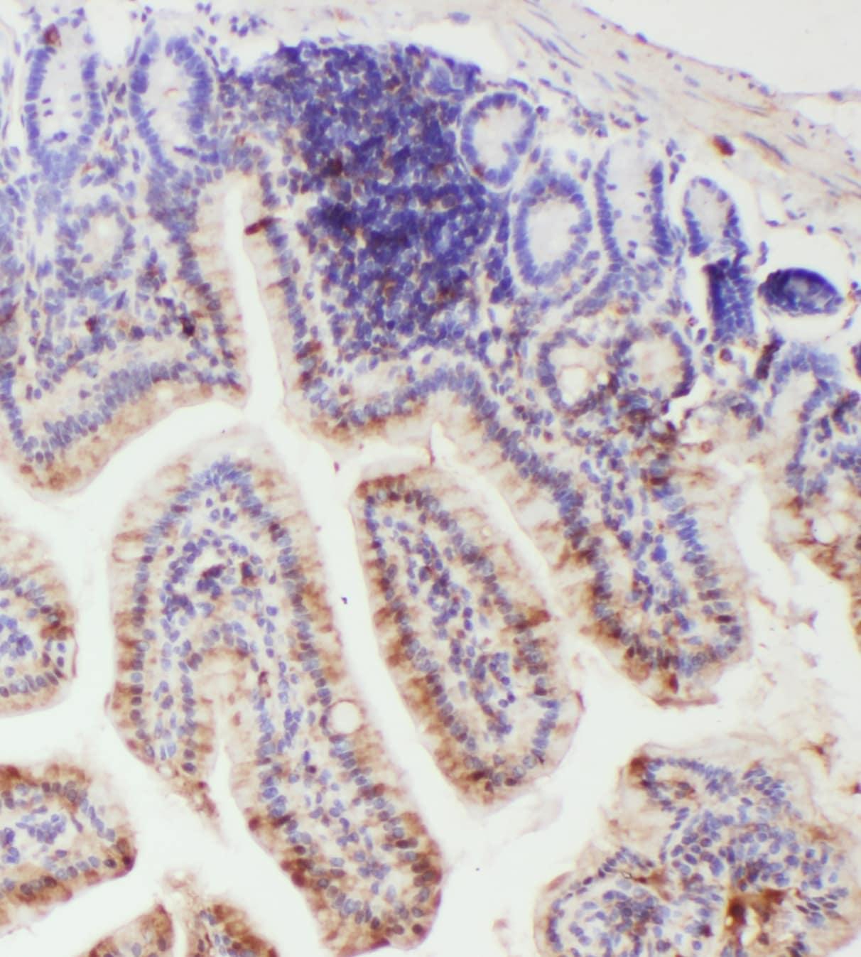 IL-18 Antibody in Immunohistochemistry (Paraffin) (IHC (P))