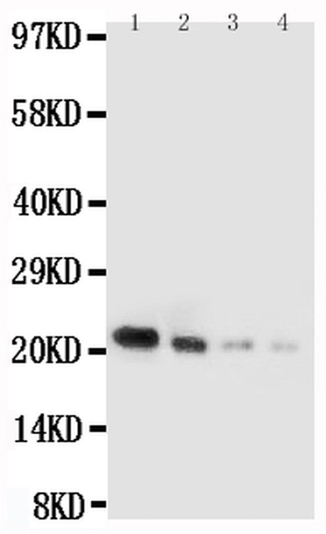 IL-18 Antibody in Western Blot (WB)