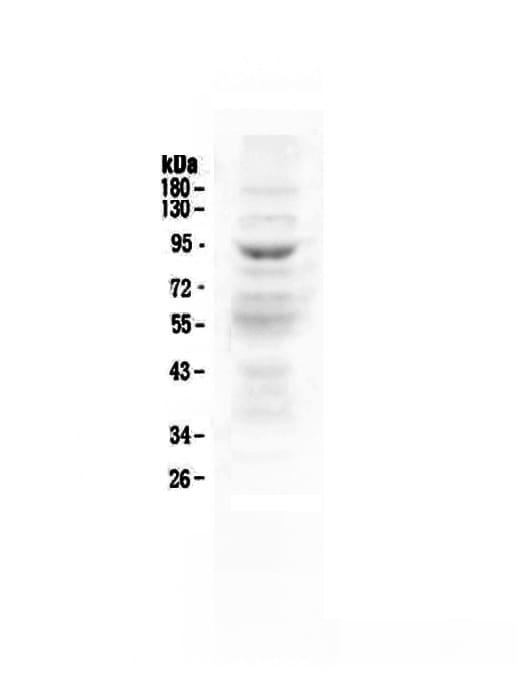 ZAK Antibody in Western Blot (WB)