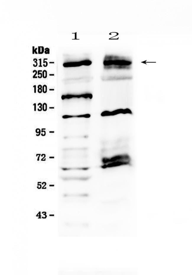 MED13 Antibody in Western Blot (WB)