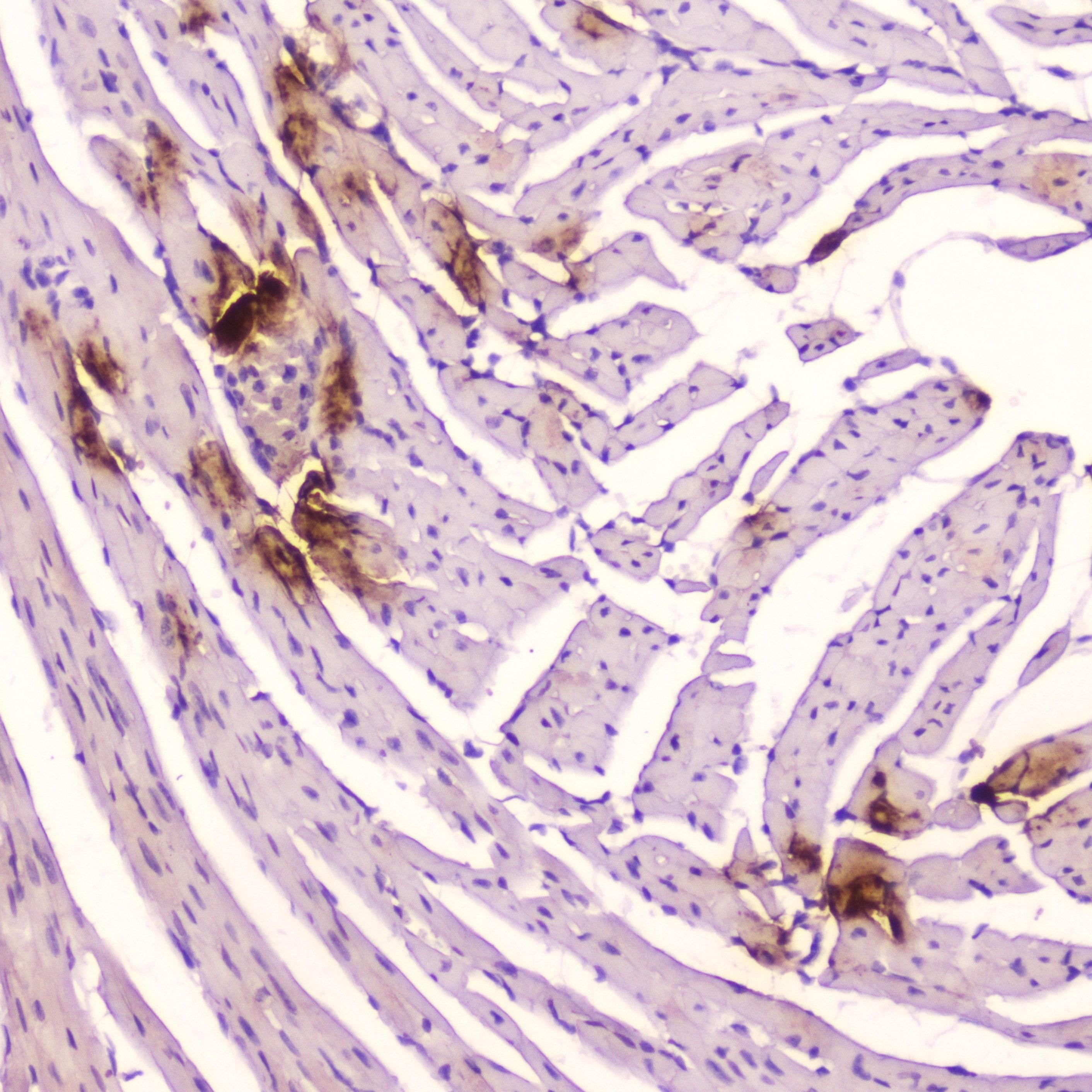 ANP Antibody in Immunohistochemistry (Paraffin) (IHC (P))