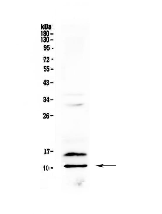 PF4 Antibody in Western Blot (WB)