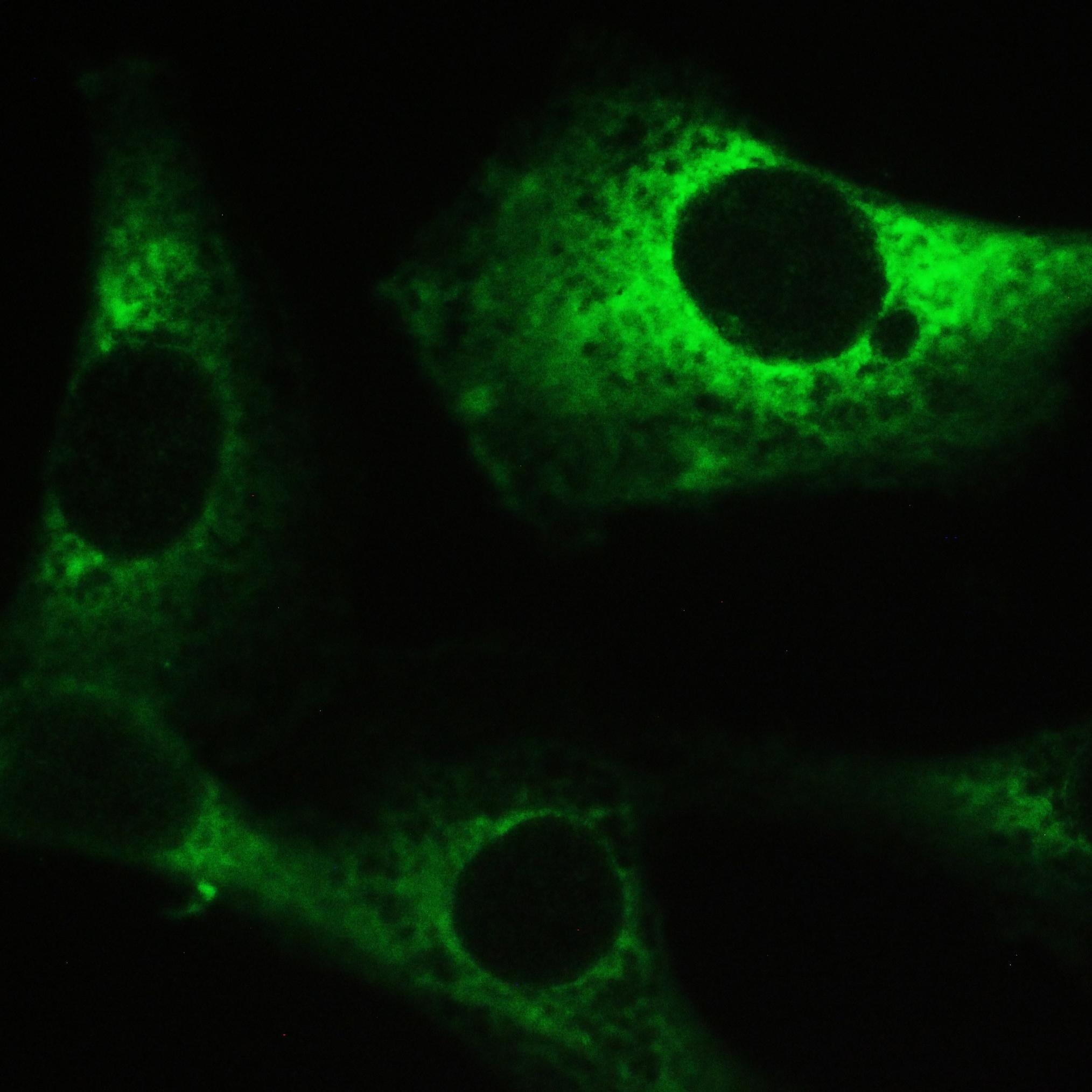 MYPT1 Antibody in Immunocytochemistry (ICC/IF)