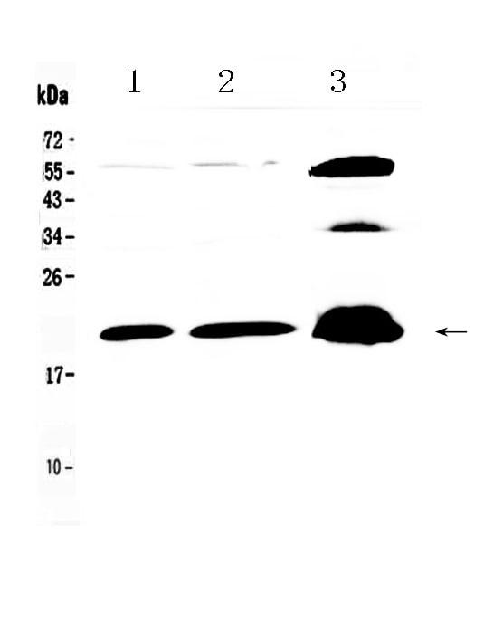 CPI-17 Antibody in Western Blot (WB)