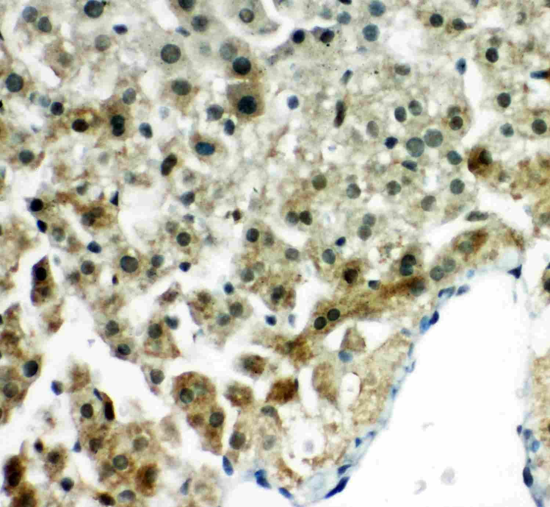 PRDX5 Antibody in Immunohistochemistry (Paraffin) (IHC (P))