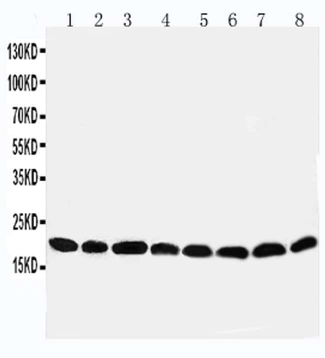 PRDX5 Antibody in Western Blot (WB)