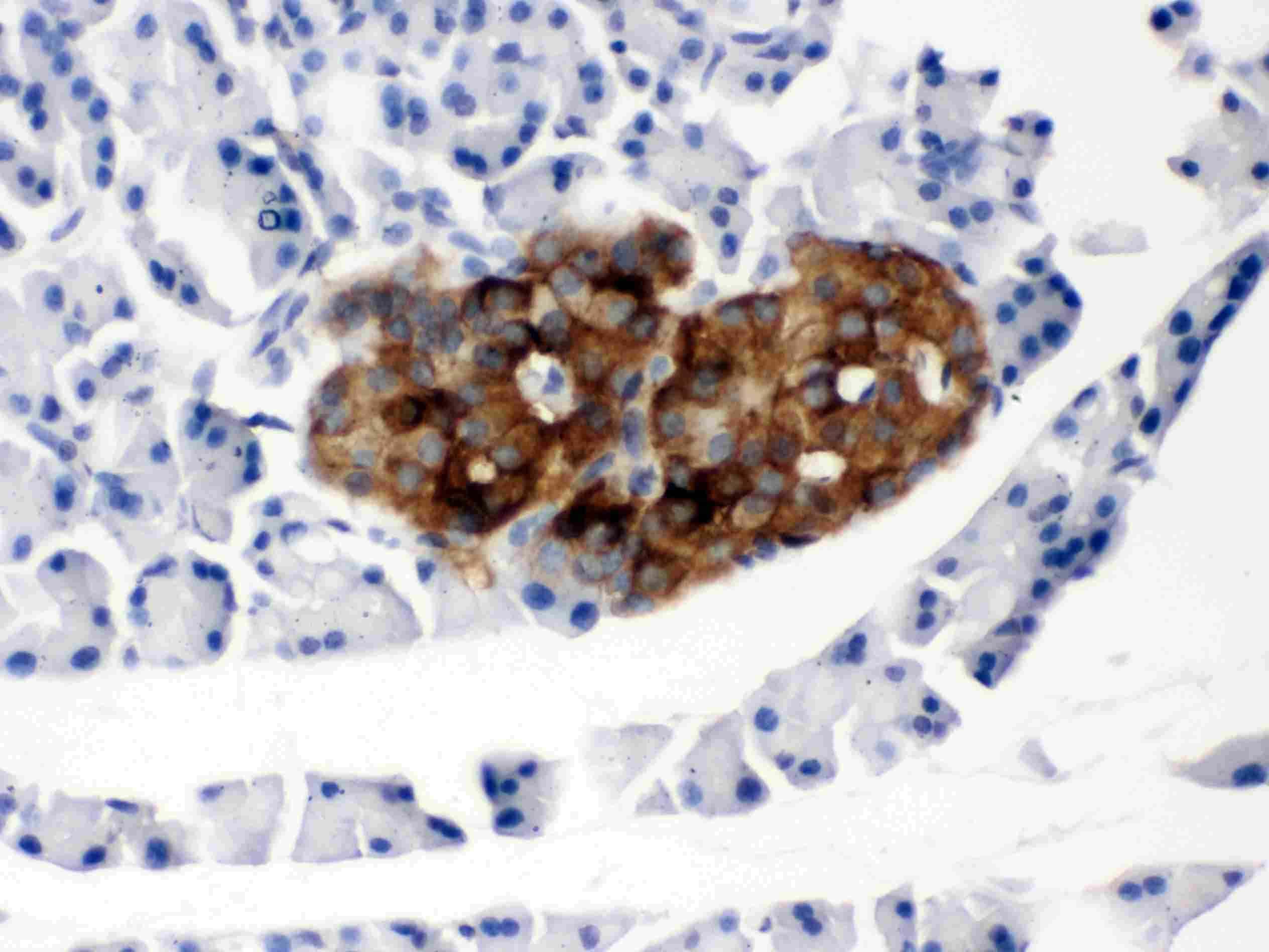 PrP Antibody in Immunohistochemistry (Paraffin) (IHC (P))