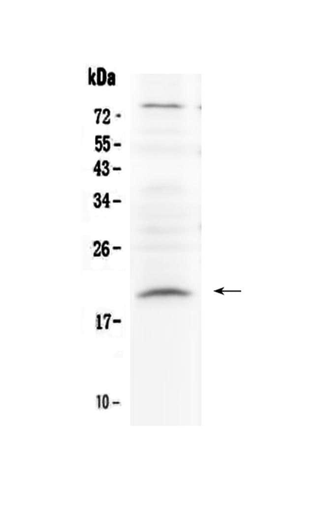Relaxin 1 Antibody in Western Blot (WB)
