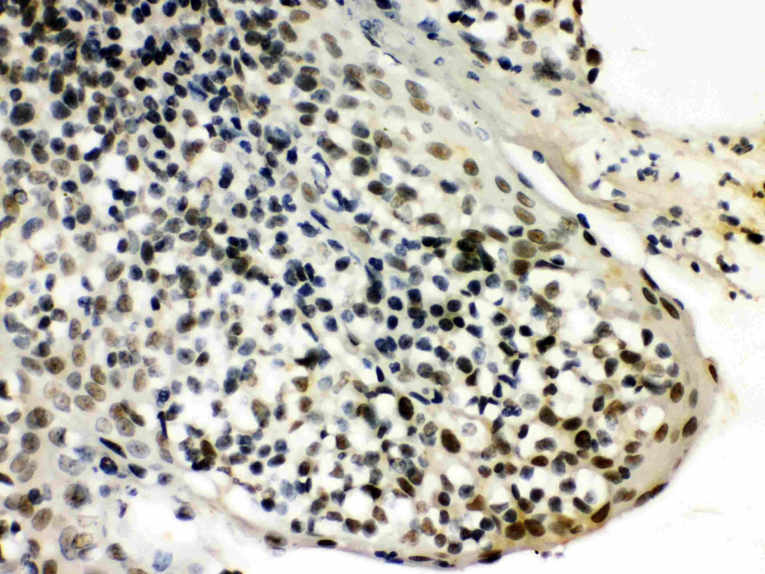 SNRPN Antibody in Immunohistochemistry (Paraffin) (IHC (P))