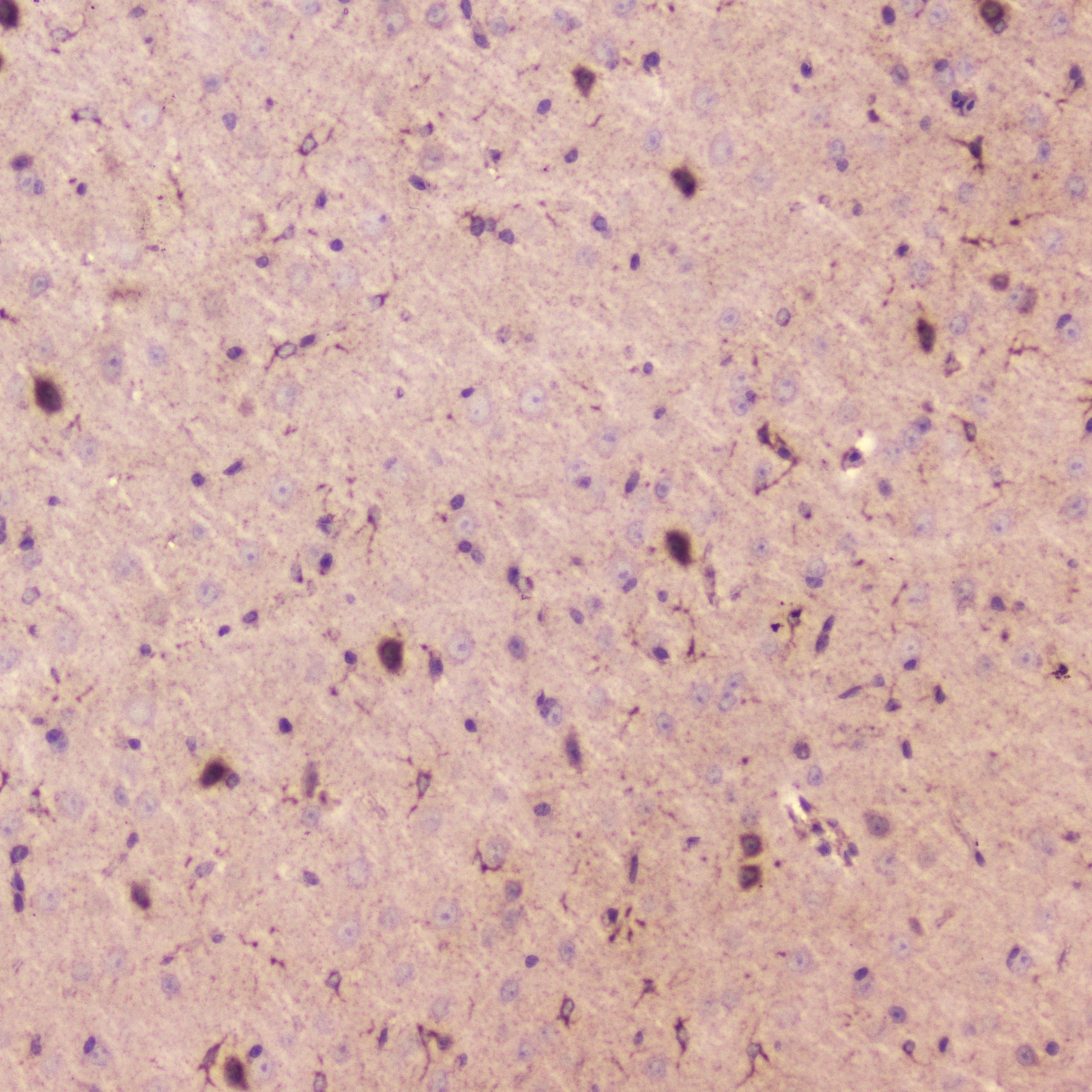 SPARCL1 Antibody in Immunohistochemistry (Paraffin) (IHC (P))