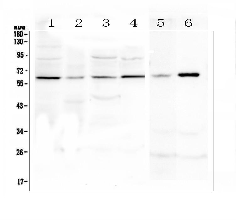 SPARCL1 Antibody in Western Blot (WB)