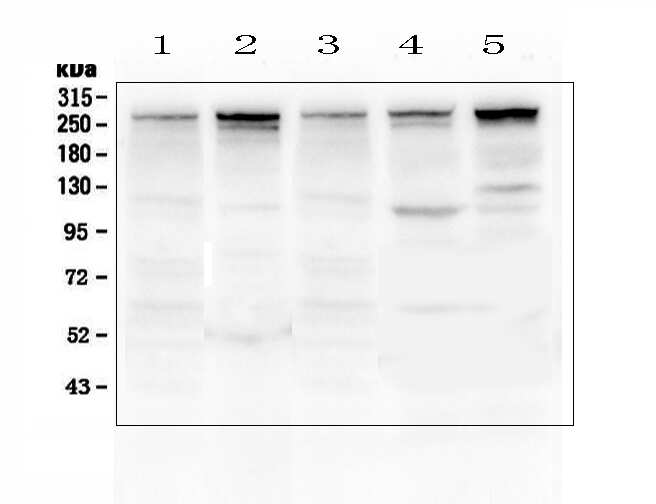 Talin 1 Antibody in Western Blot (WB)