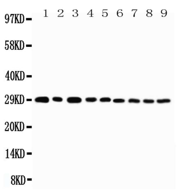 OX40 (CD134) Antibody in Western Blot (WB)