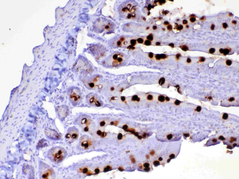 OX40L (CD252) Antibody in Immunohistochemistry (Paraffin) (IHC (P))