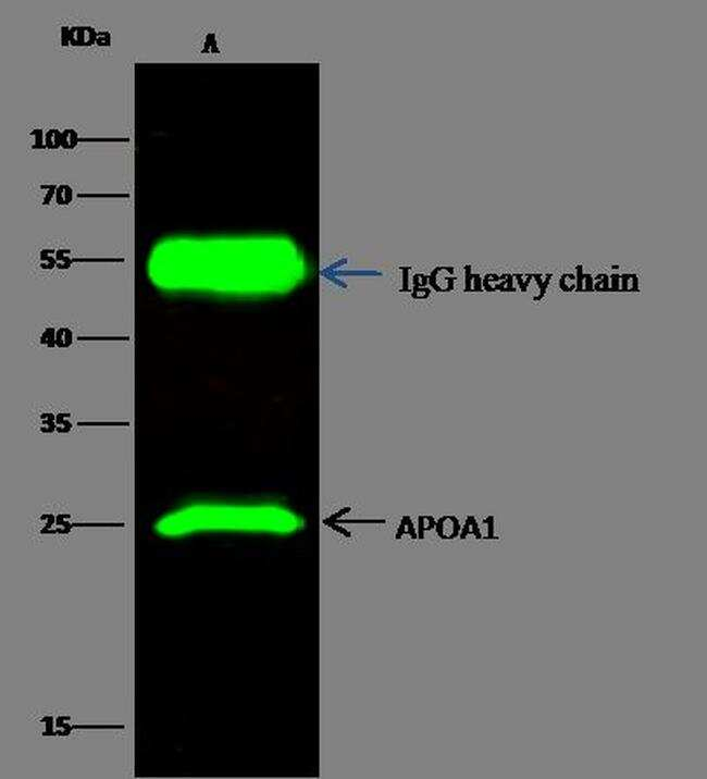 ApoA1 Antibody in Immunoprecipitation (IP)
