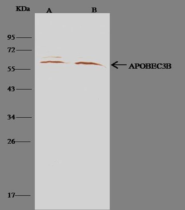 APOBEC3B Antibody in Immunoprecipitation (IP)