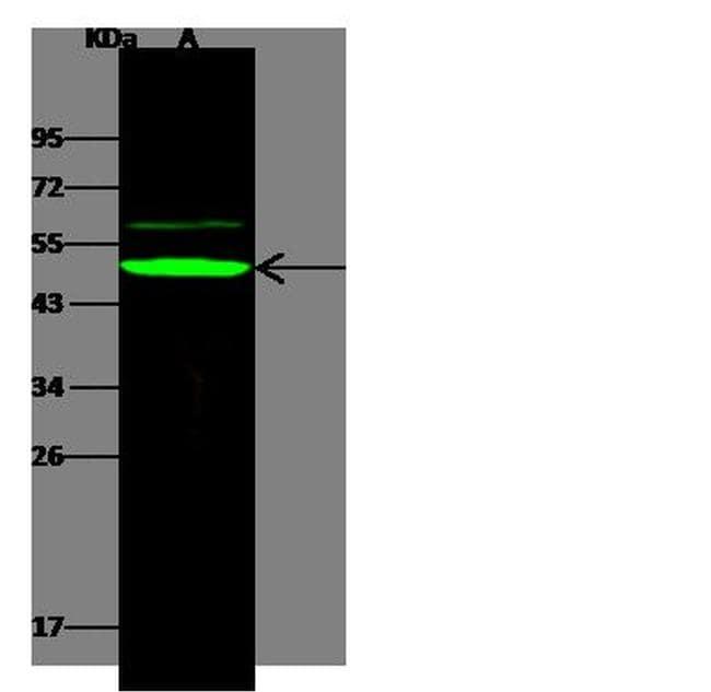 APOBEC3B Antibody in Western Blot (WB)