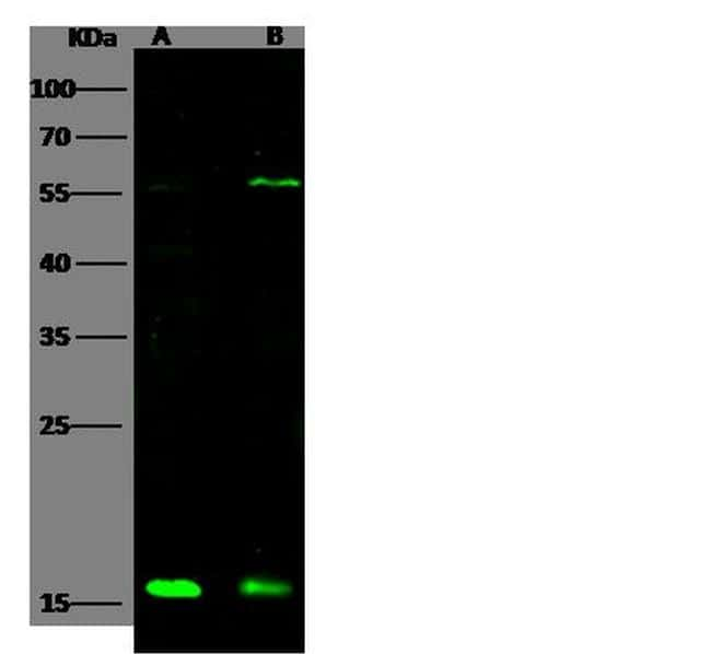 ATOX1 Antibody in Western Blot (WB)