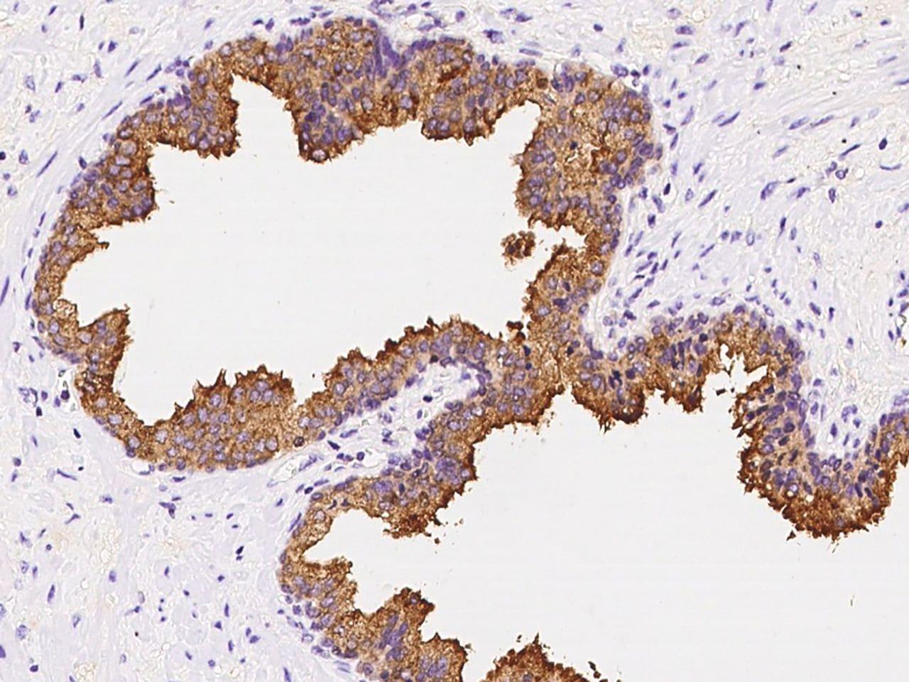 AZGP1 Antibody in Immunohistochemistry (Paraffin) (IHC (P))