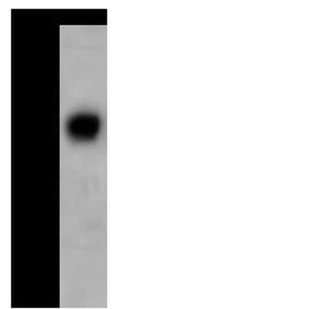 AZGP1 Antibody in Western Blot (WB)