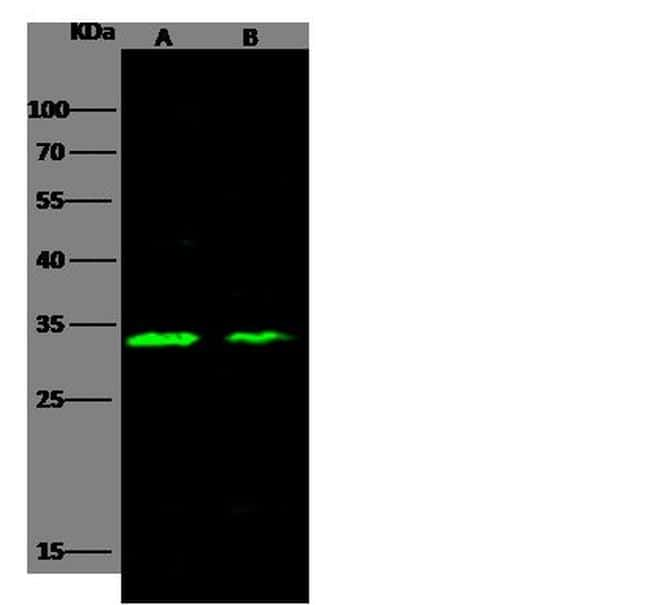 Carbonic Anhydrase XIII Antibody in Western Blot (WB)