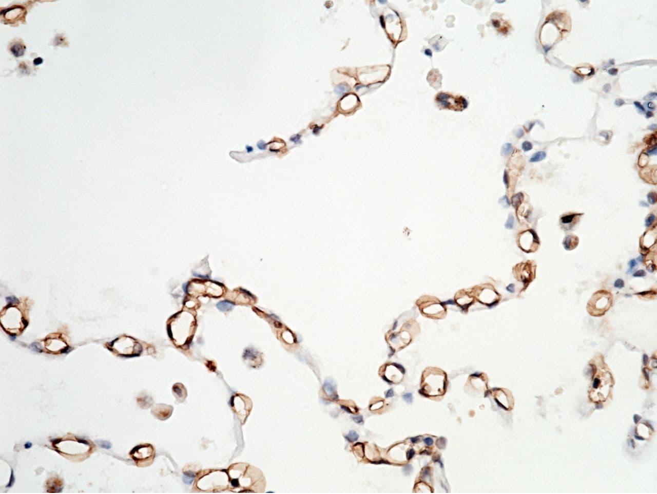 Carbonic Anhydrase IV Antibody in Immunohistochemistry (Paraffin) (IHC (P))