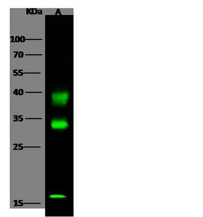 Carbonic Anhydrase VB Antibody in Western Blot (WB)