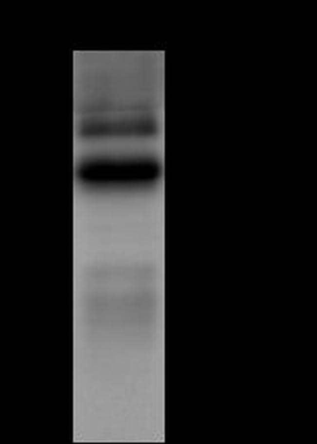 FUT10 Antibody in Immunoprecipitation (IP)