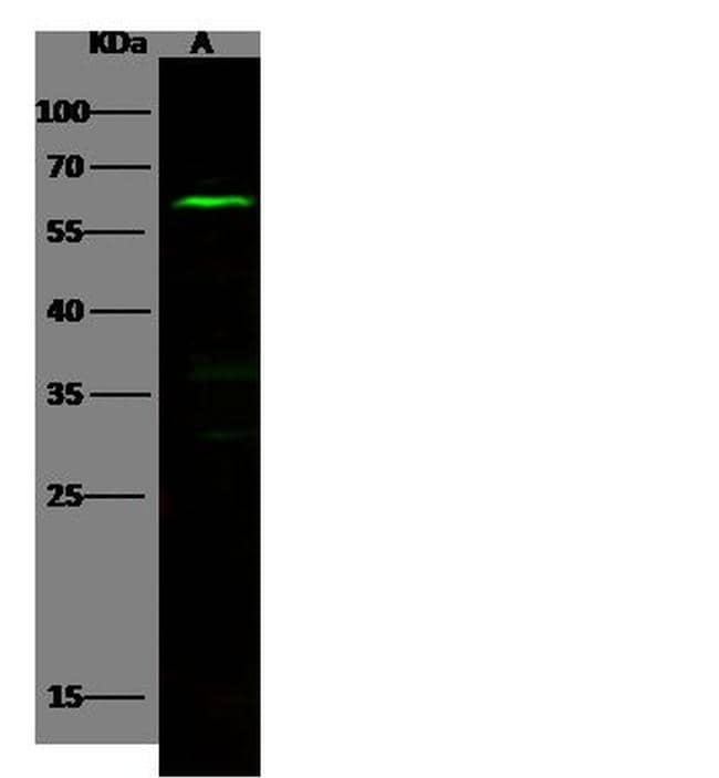 NLK Antibody in Western Blot (WB)