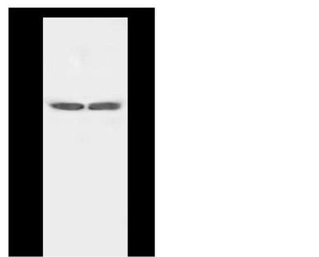 HTR4 Antibody in Western Blot (WB)