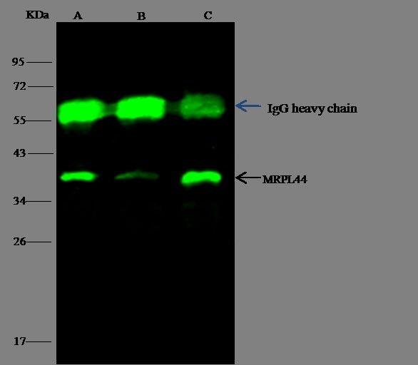 MRPL44 Antibody in Immunoprecipitation (IP)