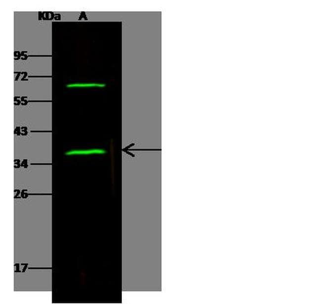 SNAP alpha/beta Antibody in Western Blot (WB)