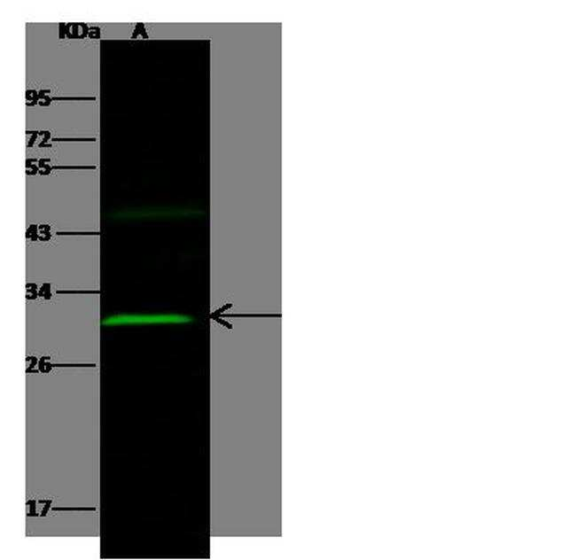OLIG2 Antibody in Western Blot (WB)