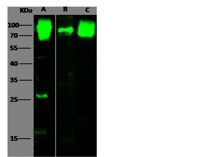 CD155 Antibody in Western Blot (WB)