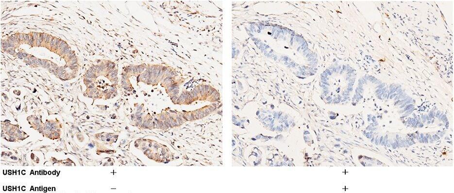 USH1C Antibody in Immunohistochemistry (Paraffin) (IHC (P))