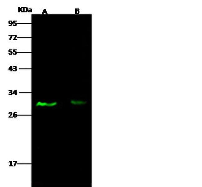 E2F5 Antibody in Western Blot (WB)