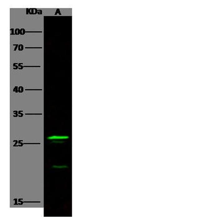 FGF8 Antibody in Western Blot (WB)