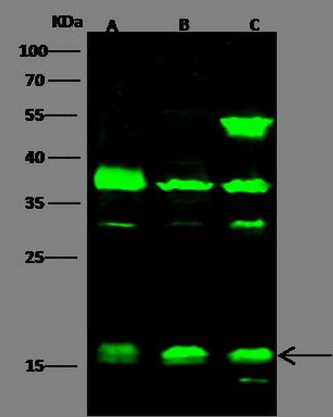 Histone H3 Antibody in Western Blot (WB)