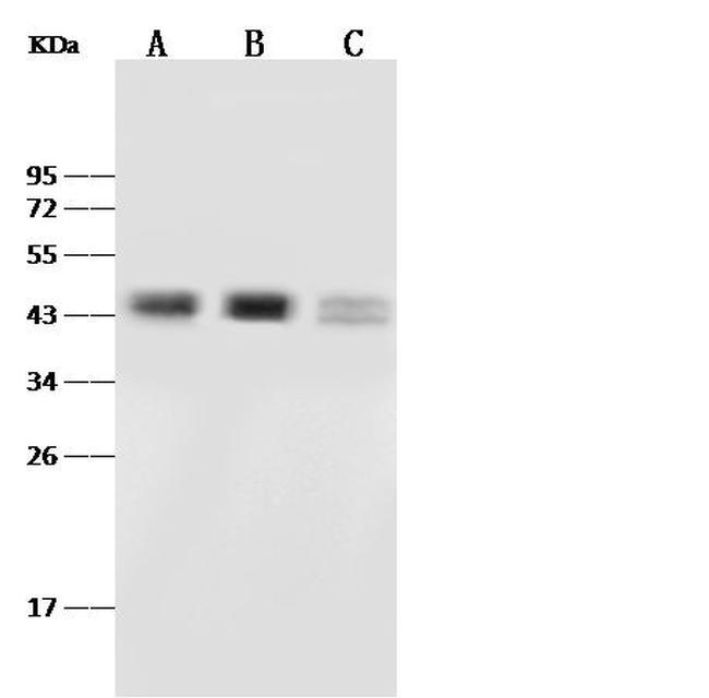 PAX2 Antibody in Western Blot (WB)