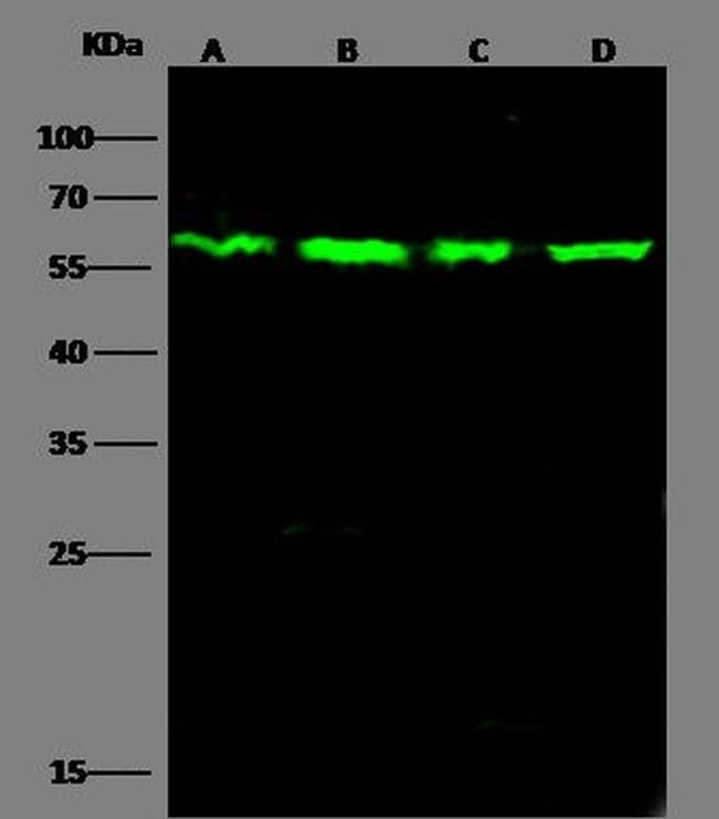 PTBP1 Antibody in Western Blot (WB)