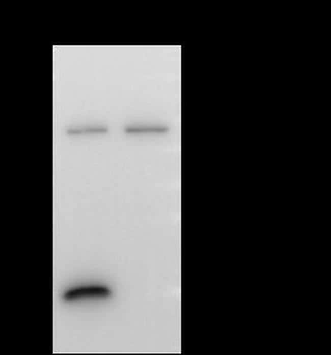 MEK7 Antibody in Immunoprecipitation (IP)