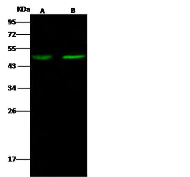 MYOD Antibody in Western Blot (WB)